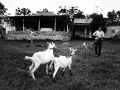 Looby bringing in the goats